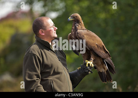 Golden eagle, Aquila chrysaetos, with handler, Loughborough, Leicestershire, England, UK, GB, - Stock Photo