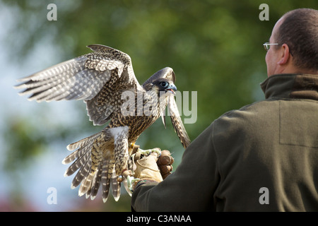 Captive Peregrine Falcon, Falco peregrinus, with handler, England, UK, GB, - Stock Photo