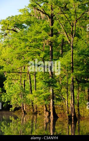 Bald cypress, Taxodium distichum, Morrison Springs, Walton County, Florida - Stock Photo