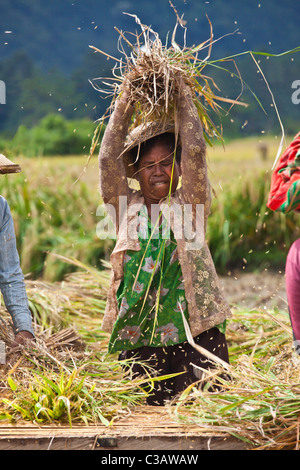RICE is harvested and threshed in the fertile valleys along SIDEMAN ROAD - BALI, INDONESIA - Stock Photo