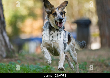Mongrel Dog running in a park spreading ears - Stock Photo