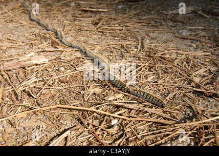 Pine processionary larvae marching in characteristic fashion, Corsica, France - Stock Photo