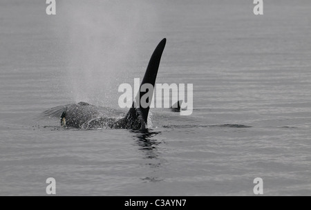 Male orca (killer whale) surfacing, Vancouver Island, Canada - Stock Photo