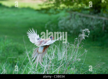 Ring-necked or Common Pheasant (Phasianus colchicus) in flight at Blenheim palace park, Oxfordshire. UK. - Stock Photo