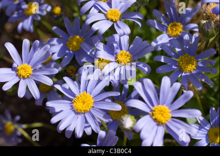 Blue Anemone Flowers With A Yellow Centre Stock Photo 227242089 Alamy