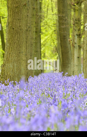 Bluebells in Chiltern beech woods, England, UK. - Stock Photo