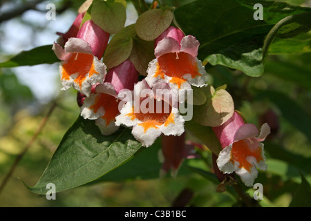 Flowers On The Perennial Shrub Dipelta floribunda (ventricosa) - Stock Photo