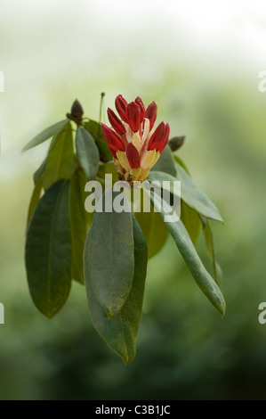 Rhododendron flowers and buds - Stock Photo