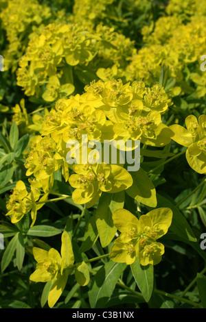 Yellow Coloured Spurge Euphorbia sp. - Stock Photo