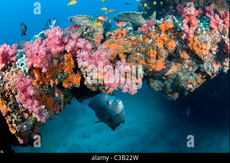 Rich healthy coral reef, Sodwana bay, South Africa, Indian Ocean - Stock Photo