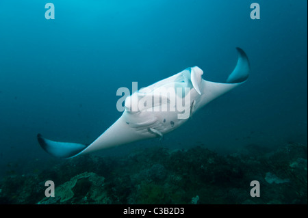 Manta ray, Manta birostris, Sodwana Bay, South Africa, Indian Ocean - Stock Photo