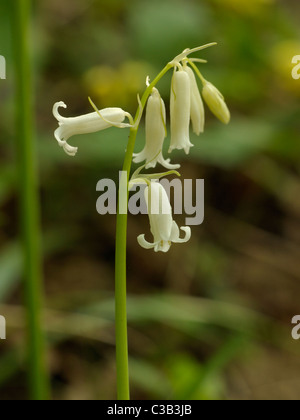 White Bluebell, hyacinthoides non-scripta - Stock Photo
