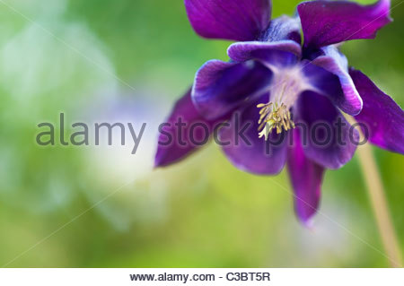 Blue and Purple Flowers | Purple Blue Columbine - HD Flower ...