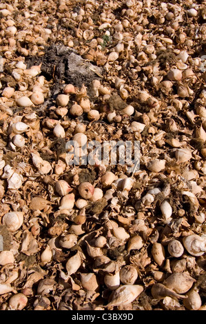 Spongy and bulbous stalks (Inflated petiole) of dried Common Water Hyacinth (Eichhornia crassipes) after water evaporation - Stock Photo