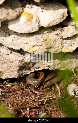 Mating Slow Worms, Anguis fragilis - Stock Photo