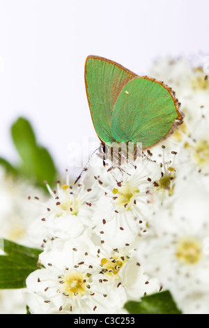 Green Hairstreak butterfly Callophrys rubi - Stock Photo