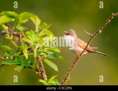 Whitethroat (Sylvia communis) singing from perch, Warwickshire - Stock Photo