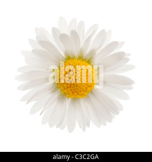 Daisy, Bellis perennis, in front of white background - Stock Photo
