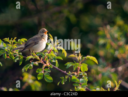 Willow Warbler (Phylloscopus trochilus) signing from perch in Spring sunshine, Warwickshire - Stock Photo
