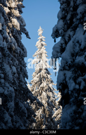 View of snow covered spruce trees in the forest at Winter ( Picea Abies ) , Finland - Stock Photo