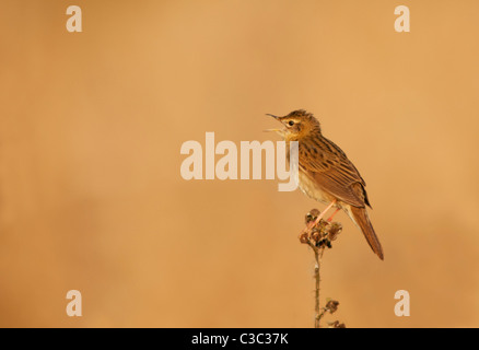 Grasshopper Warbler reeling from bramble stem in  Warwickshire reed bed - Stock Photo