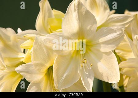 White Amaryllis Flower - Stock Photo