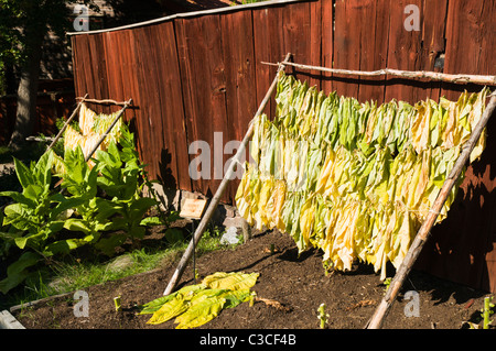 Homegrown tobacco leaves hanging to dry at Skansen open-air museum. - Stock Photo