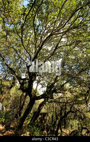 Israel, Upper Galilee, Oak trees at Baram forest - Stock Photo