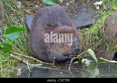 American Beaver, Canadian Beaver (Castor canadensis), adult gnawing on a twig. - Stock Photo