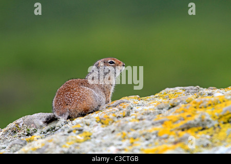 Arctic Ground Squirrel (Spermophilus parryii). Adult on a rock. McNeil River Bear Viewing and Wildlife Sanctuary, - Stock Photo