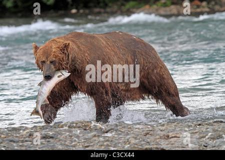 Alaskan Brown Bear (Ursus arctos middendorffi, Ursus middendorffi) with caught Chum Salmon in Mc Neil River. - Stock Photo