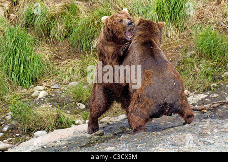 Alaskan Brown Bear (Ursus arctos middendorffi, Ursus middendorffi). Two individuals fighting. Mc Neil River - Stock Photo