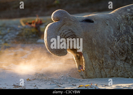 Southern Elephant Seal (Mirounga leonina). Bull on a sandy beach, roaring. - Stock Photo