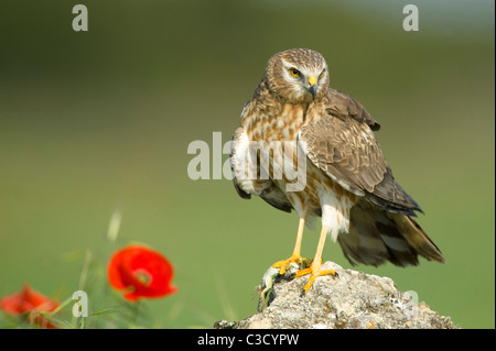 Montagus Harrier (Circus pygargus), adult female standing on a rock. - Stock Photo