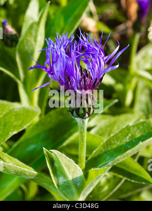 Vibrant blue and purple cornflower just starting to open in morning sun. - Stock Photo