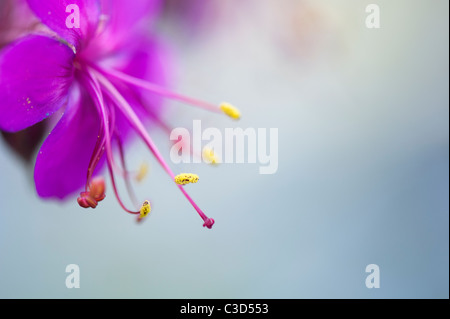 Pink Geranium flower with long stamens and anthers covered in pollen. Selective focus - Stock Photo