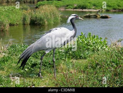 Demoiselle Crane or Lovely Lady Crane, Anthropoides virgo, Gruidae, Gruiformes. - Stock Photo