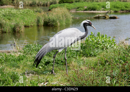 Demoiselle Crane or Lovely Lady Crane, Anthropoides virgo, Gruidae, Gruiformes. - Stock Photo