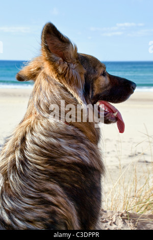 Portrait of a long haired German Shepherd dog looking across beach at Sandwood Bay, North coast of Scotland - Stock Photo
