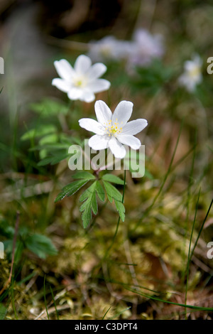 Wood anemones growing in wooded area near Lairg, Sutherland, Scotland - Stock Photo