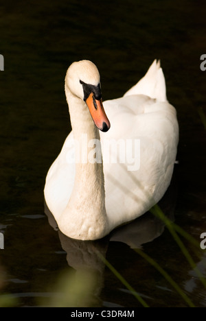 Single adult mute swan swimming in lake taken near Bristol England - Stock Photo