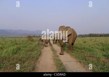 Asian Wild Elephant herd crossing dirt road near Dhikala at Corbett National Park, India. - Stock Photo