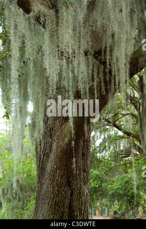 Georgia, Savannah. Southern Live Oak trees (Quercus virginiana) covered in Spanish moss (Tillandsia usneoides). - Stock Photo