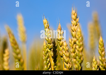 Close up of wheat on the Canadian Prairie, St. Leon, Manitoba, Canada - Stock Photo