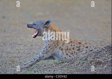 Yawning Spotted hyena (Crocuta crocuta) also known as laughing hyena in Masai Mara, Kenya - Stock Photo