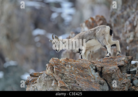 Bharal or Himalayan blue sheep or naur, Pseudois nayaur, at a rocky ledge in Hemis national park, Ladak, India - Stock Photo