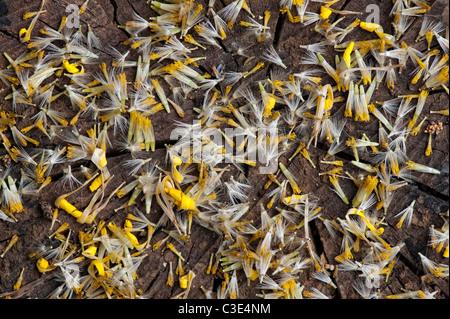 Doronicum Caucasicum Finesse flower seeds. Leopards Bane flower seeds - Stock Photo