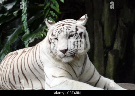 A white tiger lying down (Panthera Tigris) in Singapore Zoo, Singapore - Stock Photo