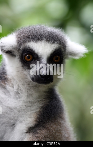Portrait of a Ring-tailed Lemur (Lemur catta) at Singapore Zoo - Stock Photo