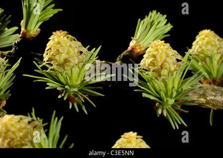 Female larch (Larix decidua) flowers among early season needle growth - Stock Photo